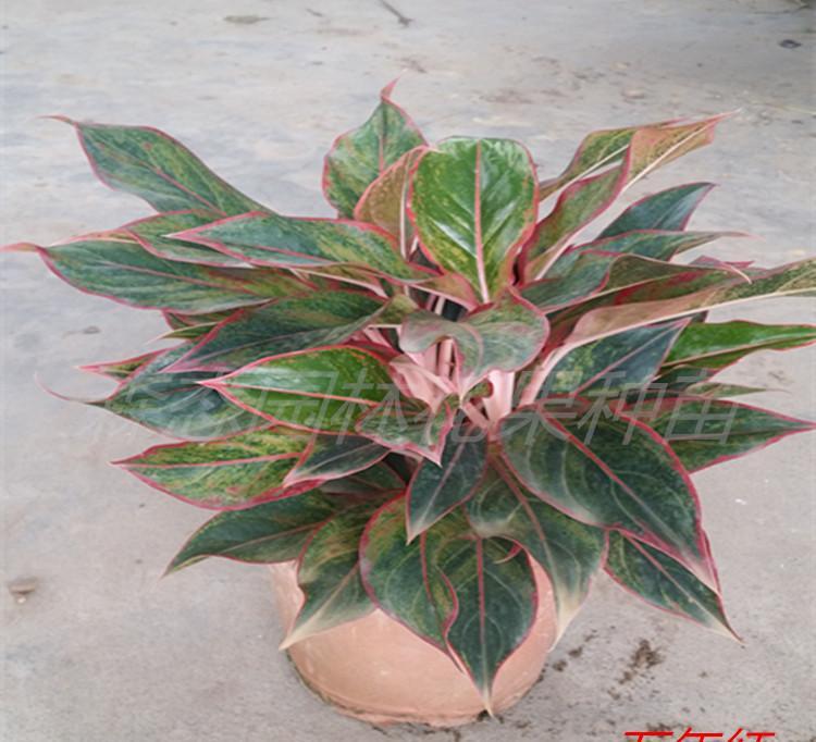 【基地直销】室内高档彩叶盆栽万年红 能净化空气 可水培图片