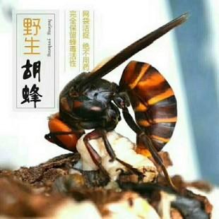 云南林城生物专业从事胡蜂、土蜂、越冬蜂王生产与销售