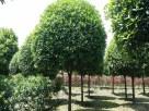 四川省在哪能买到品质好的成都红梅价格,成都锦艺园林工程有限公