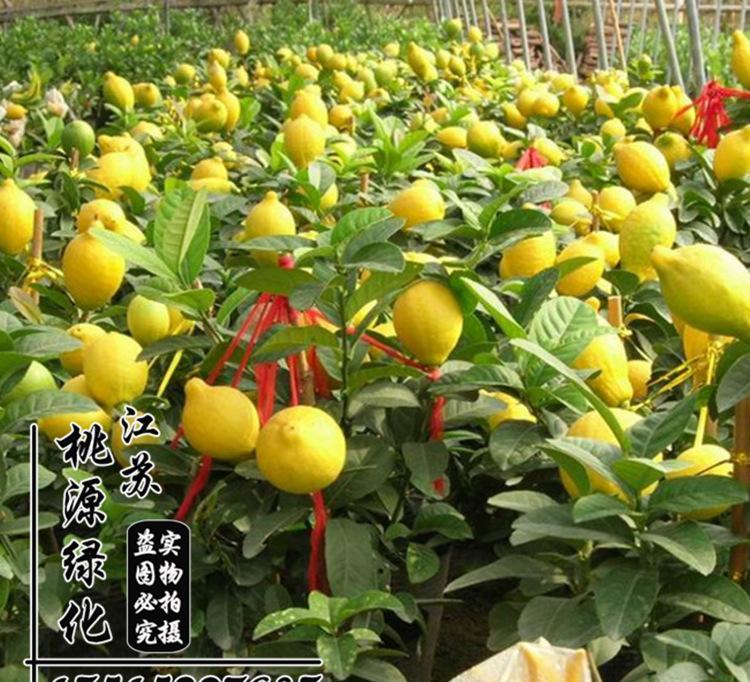 基地批发盆栽果树苗 柠檬树苗 柠檬苗 花苗 柠檬树 当年挂果