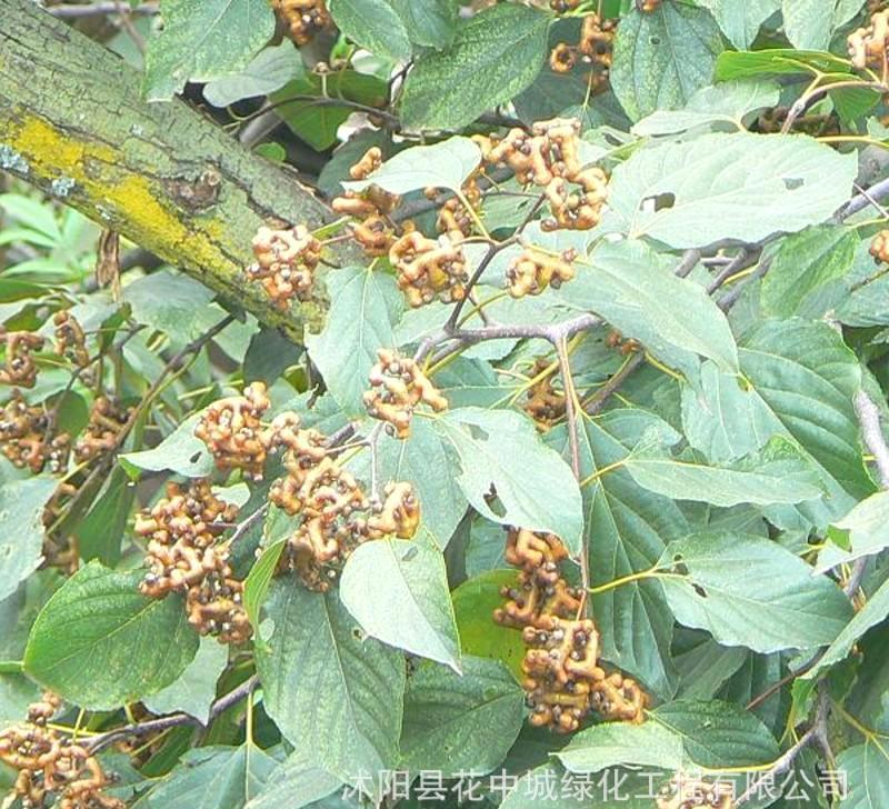 梨树树枝常见病害彩图